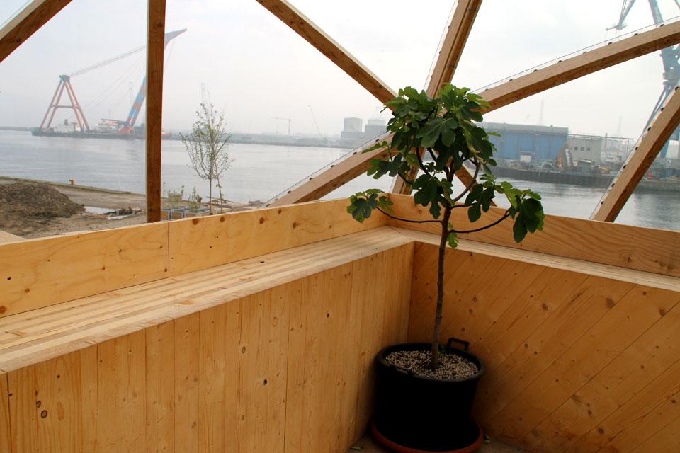 Инжир в кадке растет и плодоносит в внутри помещения Купол Видения
