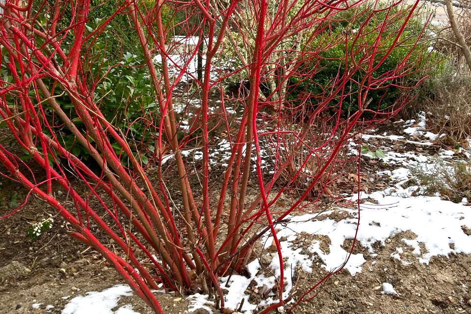 Дерен красный в моем саду