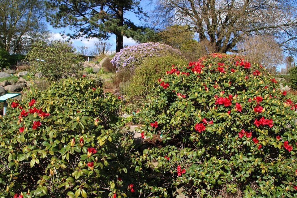 Рододендроны цветут на альпийских горках. Ботанический сад Орхус