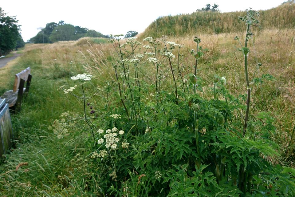 Борщевик обыкновенный (Heracleum sphondylium) растет на старой крепости