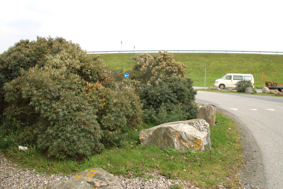 Кусты облепихи возле дороги