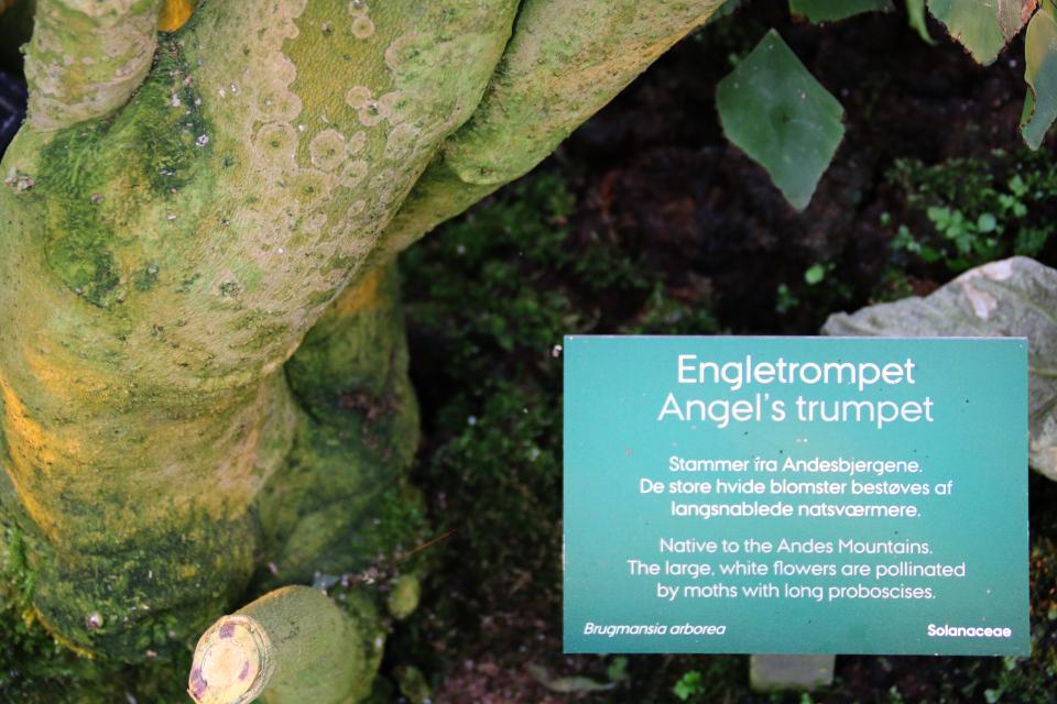 Табличка возле древесной бругмансии