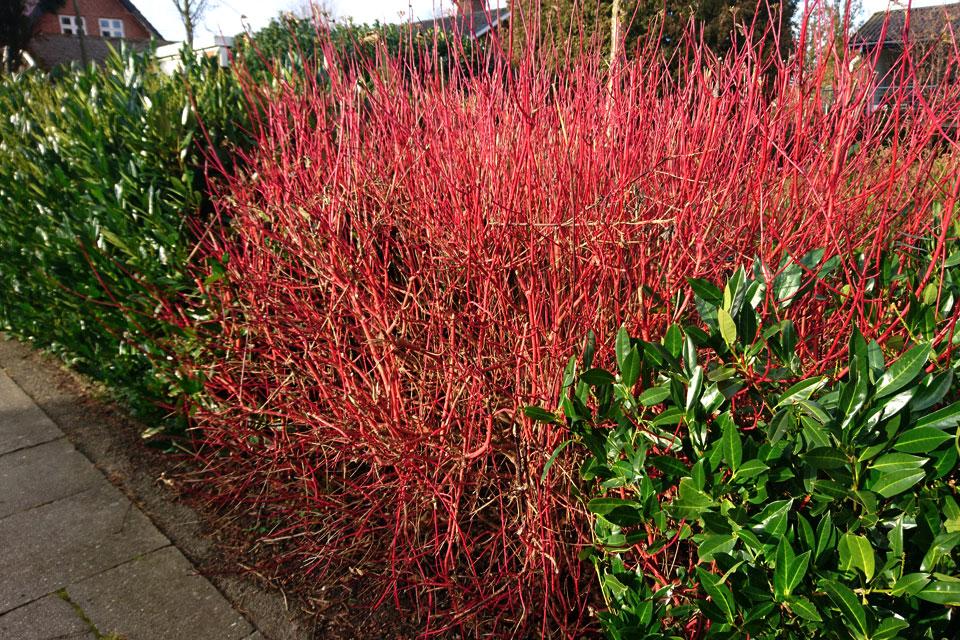 Живая изгородь из дерена красного (Cornus sanguinea) и вечнозеленой лавровишни (Prunus laurocerasus)