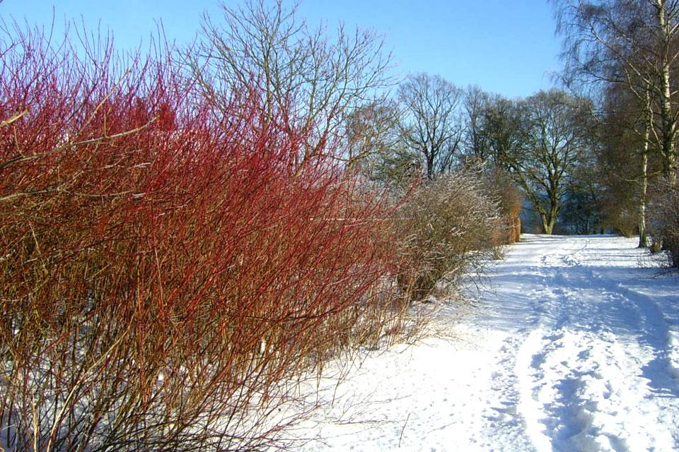 Очень эффектно смотряться кусты красного дерена на фоне белого снега.