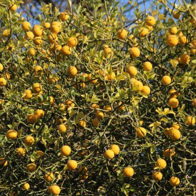 Понцирус трехлисточковый Poncirus trifoliata 12okt18 www.florapassionis.com
