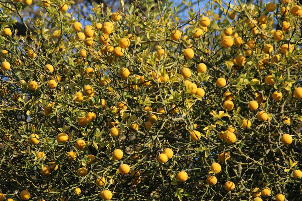Понцирус трехлисточковый Poncirus trifoliata
