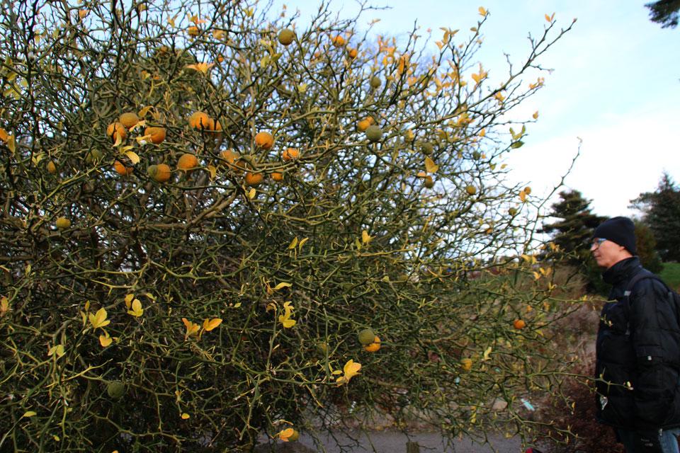 Дерево северного цитруса с плодами