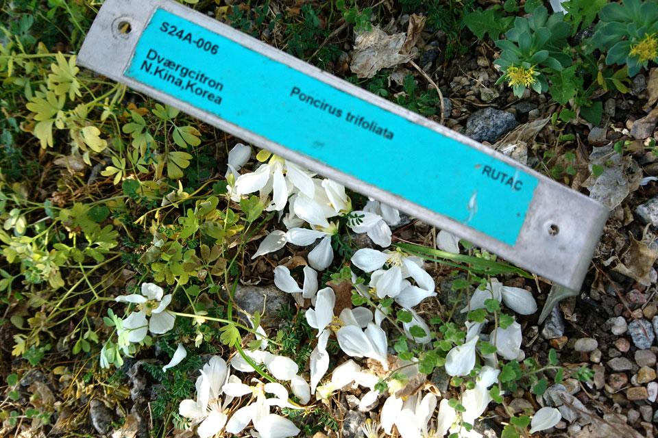 Понцирус трехлисточковый Poncirus trifoliata dværgcitron