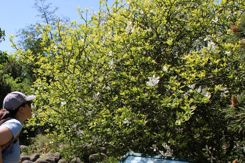 Понцирус трехлисточковый цветет