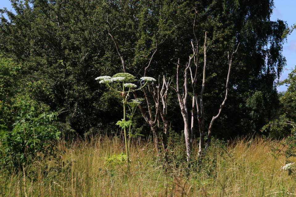 Гигантский борщевик пророс в лесу, Дания
