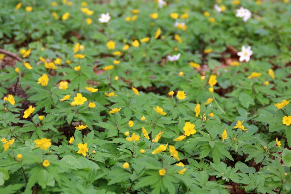 Ветреница лютиковидная - Anemone ranunculoides