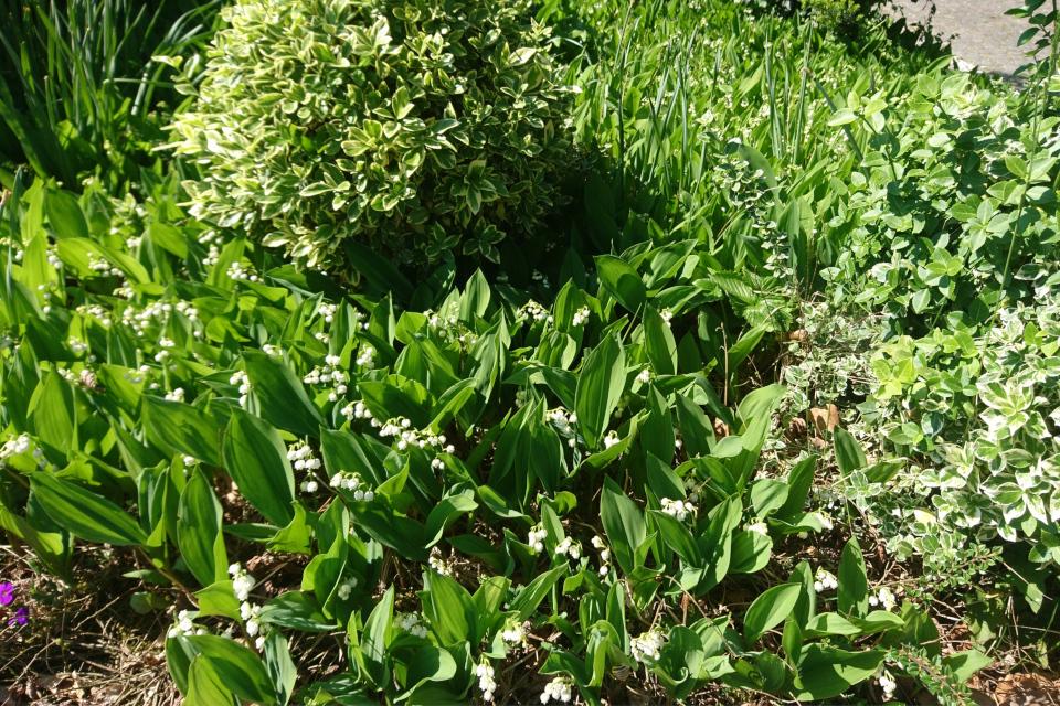 Майский ландыш цветет в палисаднике дома