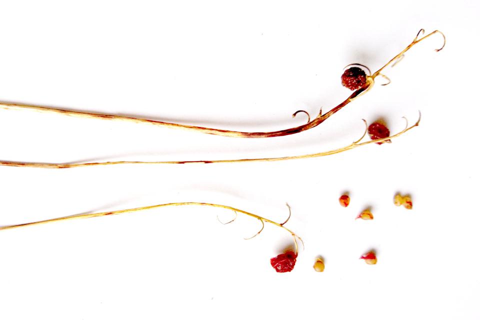 Плоды и семена ландыша