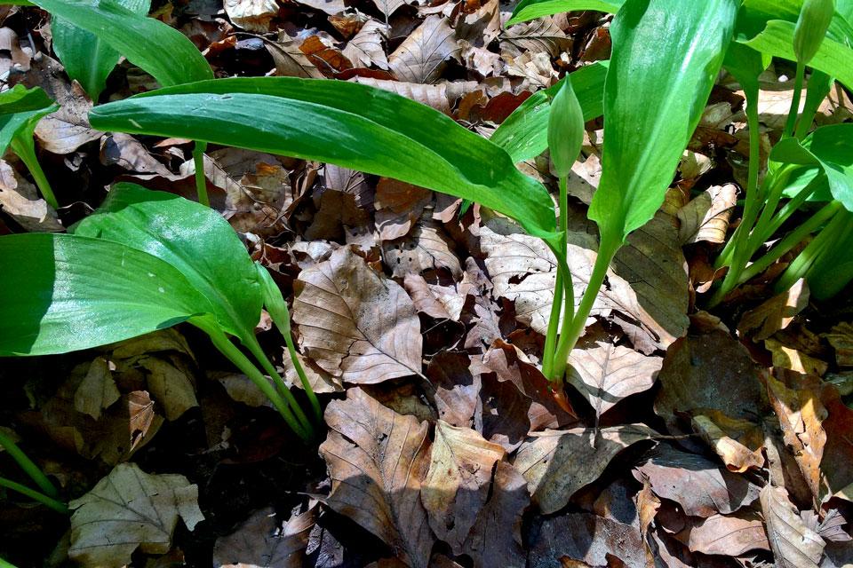 листья черемши