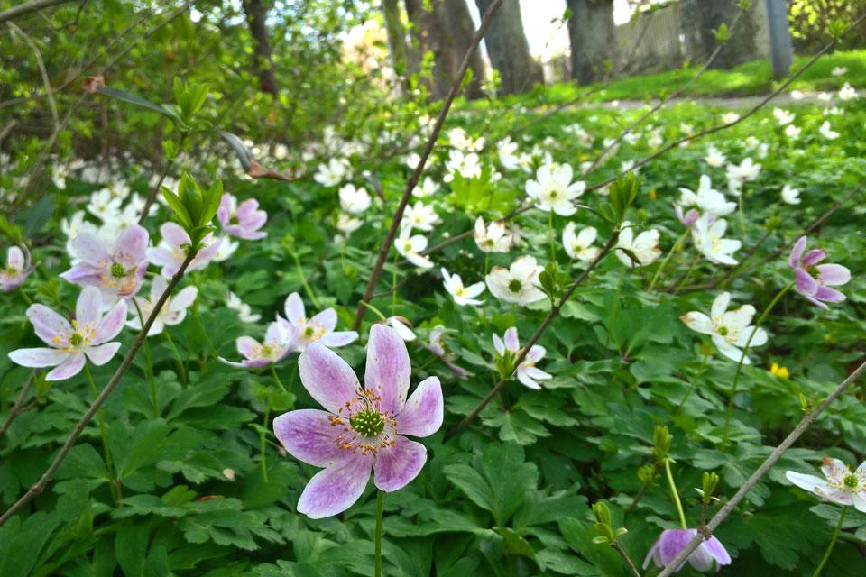 Цветы ветреницы дубравной