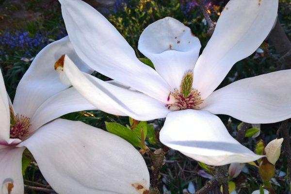 Магнолия Суланжа Magnolia × soulangeana magnolia-9maj16-florapassionis.com