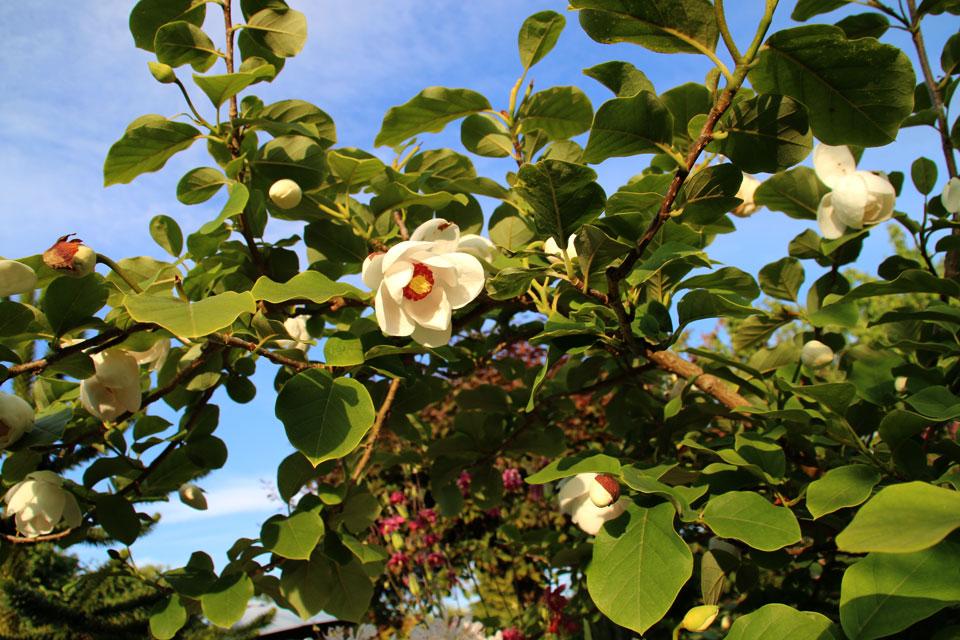 Магнолия Зибольда (Magnolia sieboldii