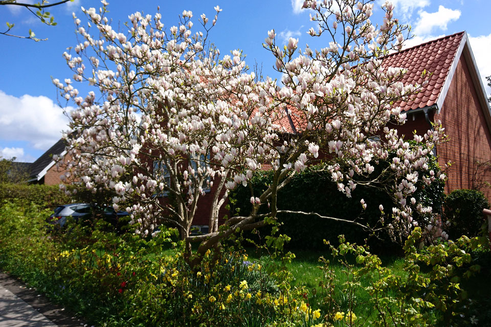 Магнолия Суланжа Magnolia soulangeana