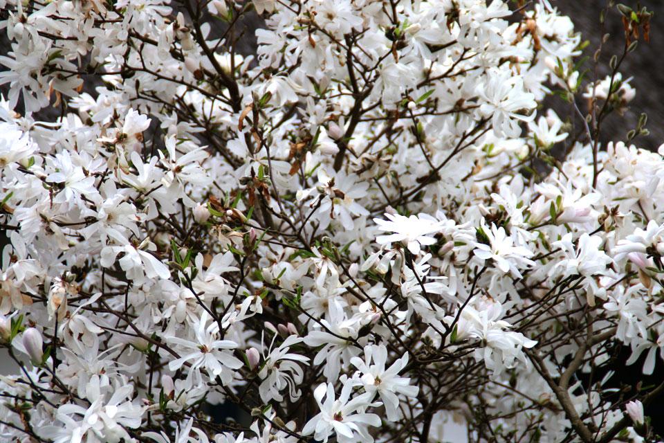 Магнолия звездчатая Magnolia stellata