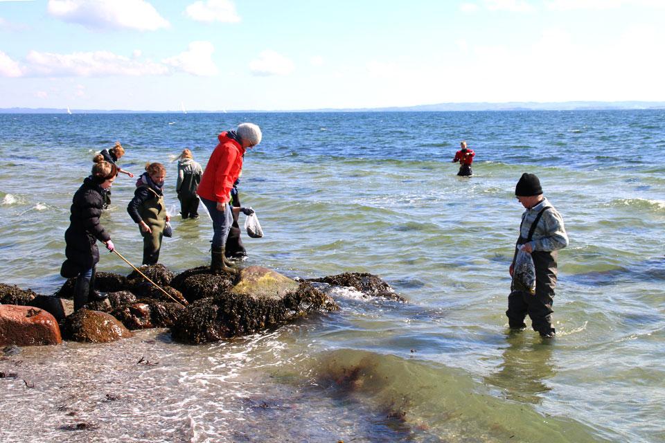 Сбор морских водорослей на берегу Еуо /Egå, возле города Орхус, Дания