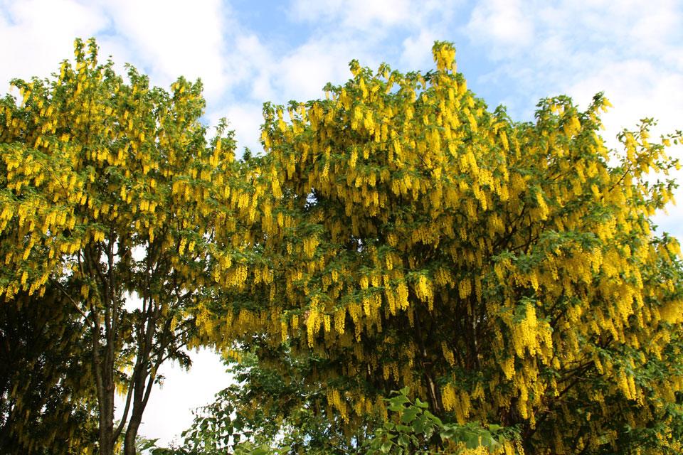 Бобовник анагировидный цветет очень обильно ярко-желтыми цветами