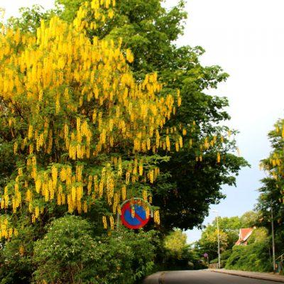 Золотой дождь Бобовник анагировидный Viby Aarhus Denmark www.florapassionis.com