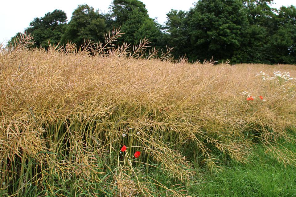 Плоды рапса - узкие стручки, внутри которых маленькие круглые семана семена, богатые маслом