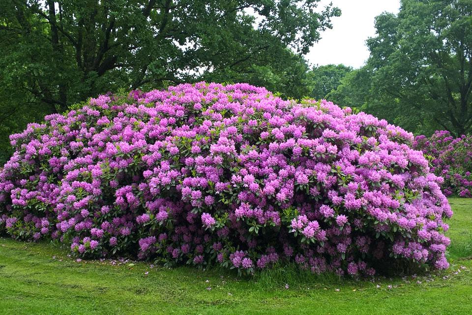Огромный цветущий куст рододендрона
