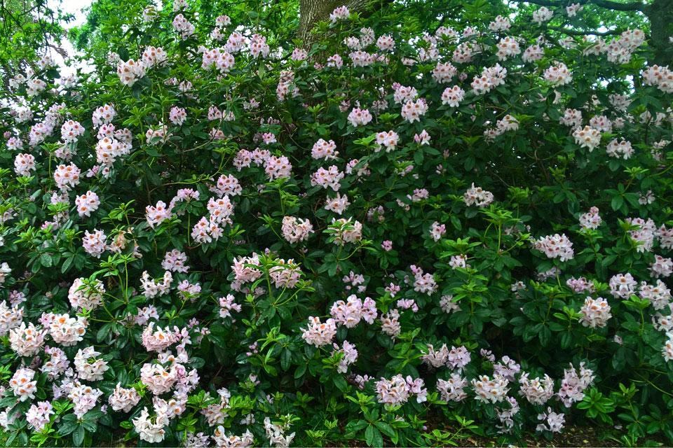 Двухцветный рододендрон со светло-розовыми цветами и темно-красными крапинками