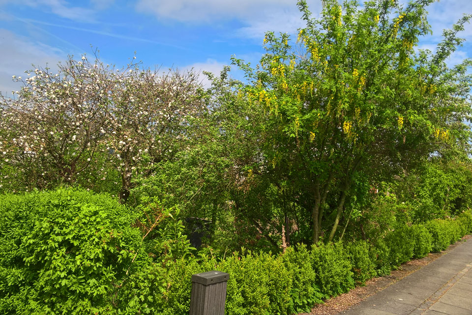 Бобовник - желтый дождь пророс в зеленой ограде моего сада.