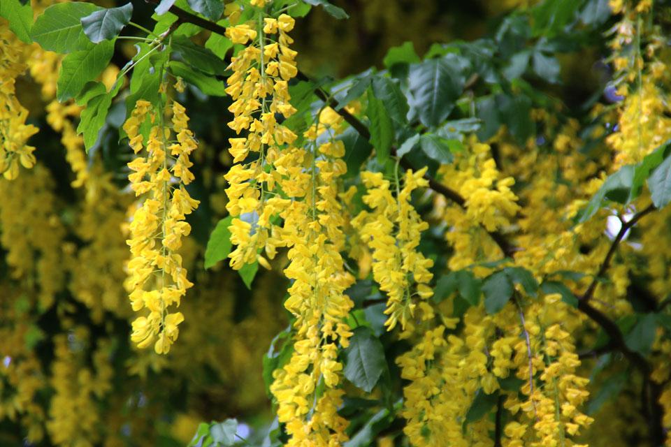 Цветы у бобовника мотылькового типа, похожи на цветы фасоли и гороха