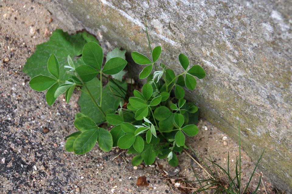 Листья молодых проростков напоминают клевер