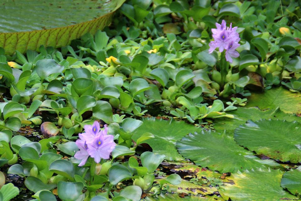 Эйхорния отличная / водяной Гиацинт (Eichhornia crassipes)