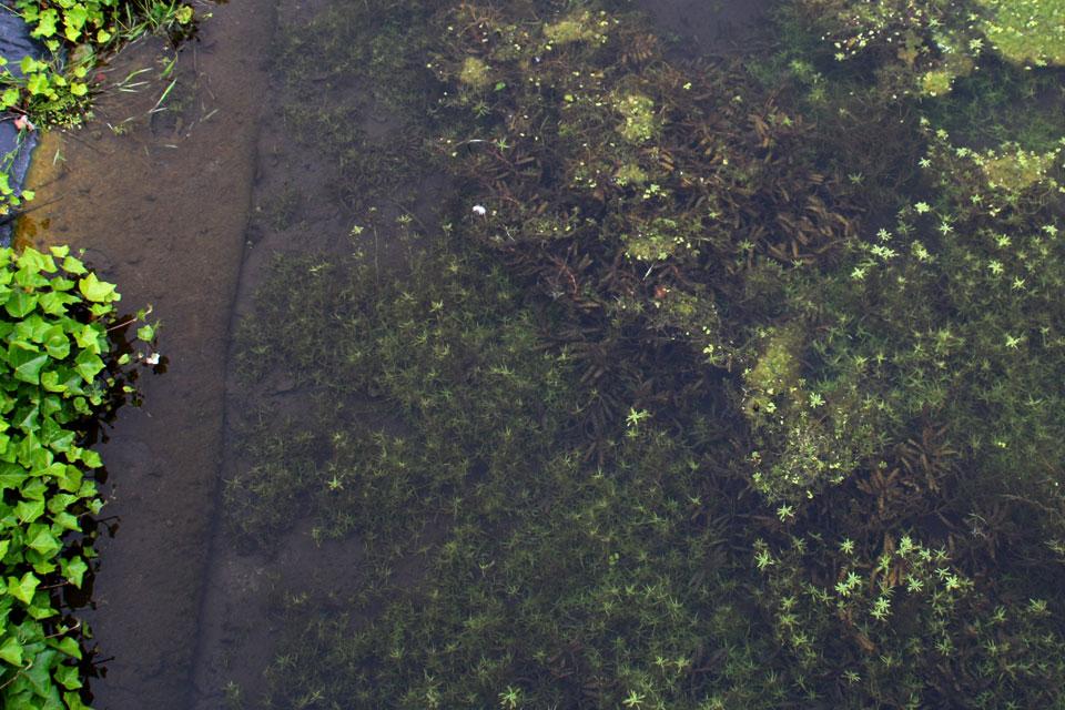 Элодея канадская, Водяная чума, Elodea canadensis