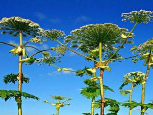 Борщевик – ядовитое растение
