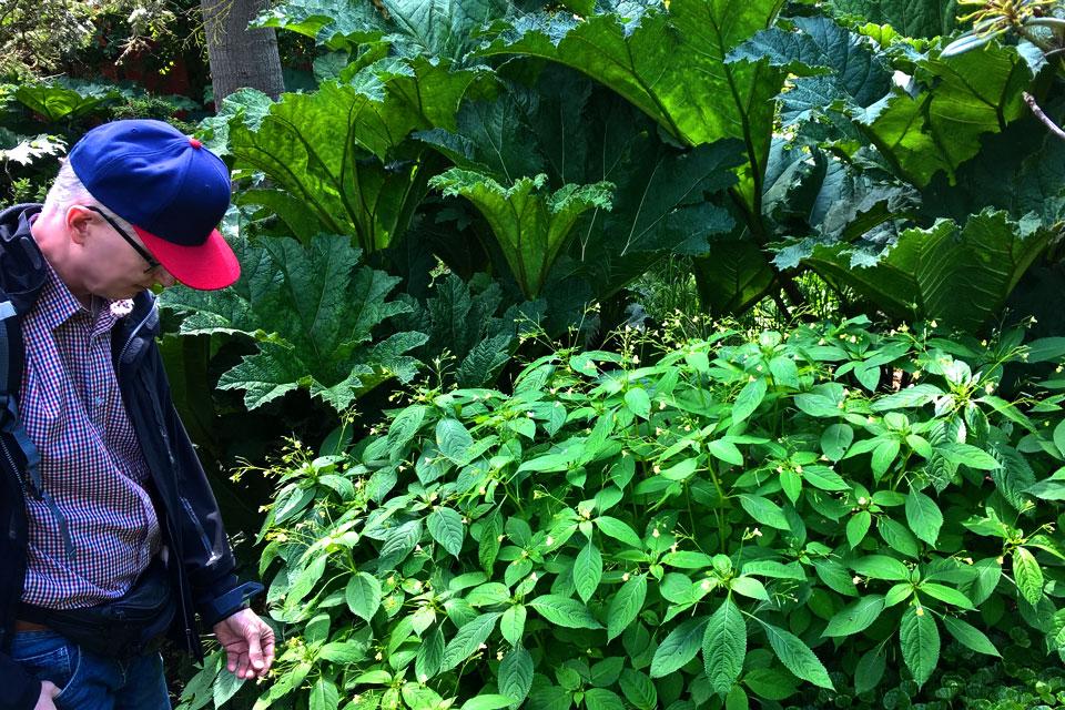 Недотрога мелкоцветковая - Борьба с инвазивными растениями в Дании
