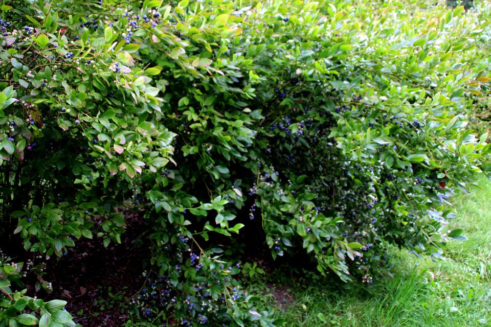 Кусты голубики облеплены вкусными голубыми ягодами