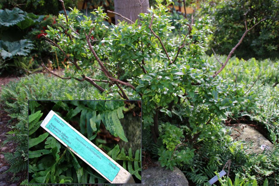 Черника кавказская (Vaccinium arctostaphylos): Голубика или черника