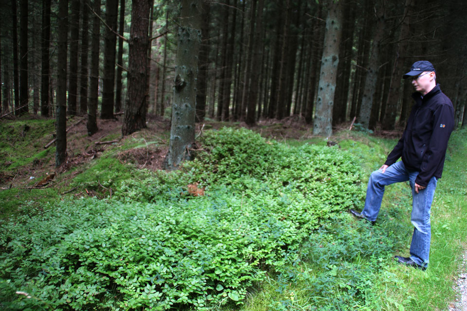 Кустики черники обыкновенной (Vaccinium myrtillus)
