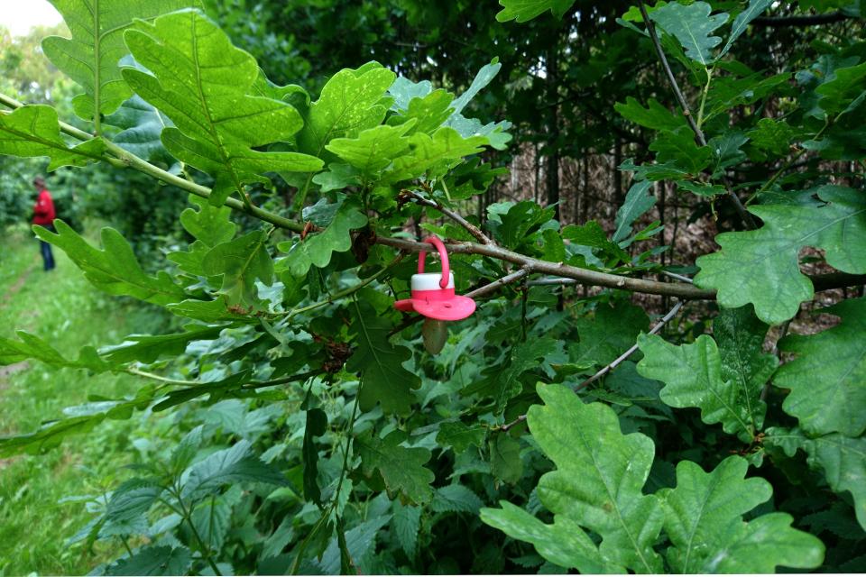 Дуб, который теперь становится деревом сосок, Дания