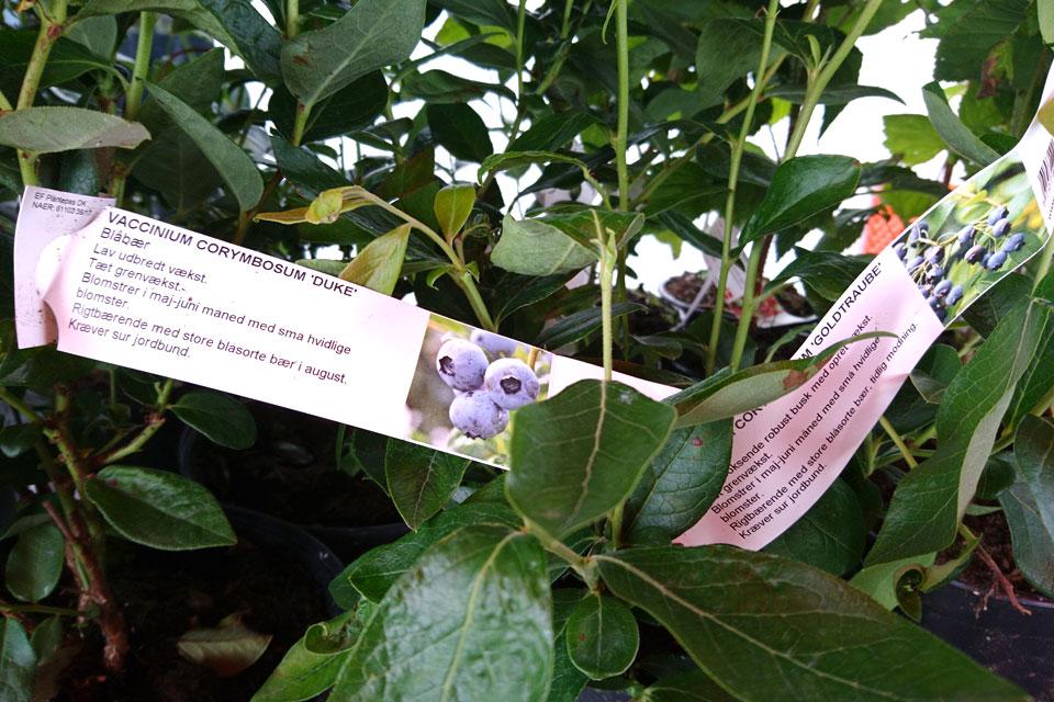 Голубика высокорослая, питомник садовых растений