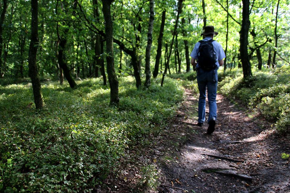 Подлесок дубового леса полностью порос черникой