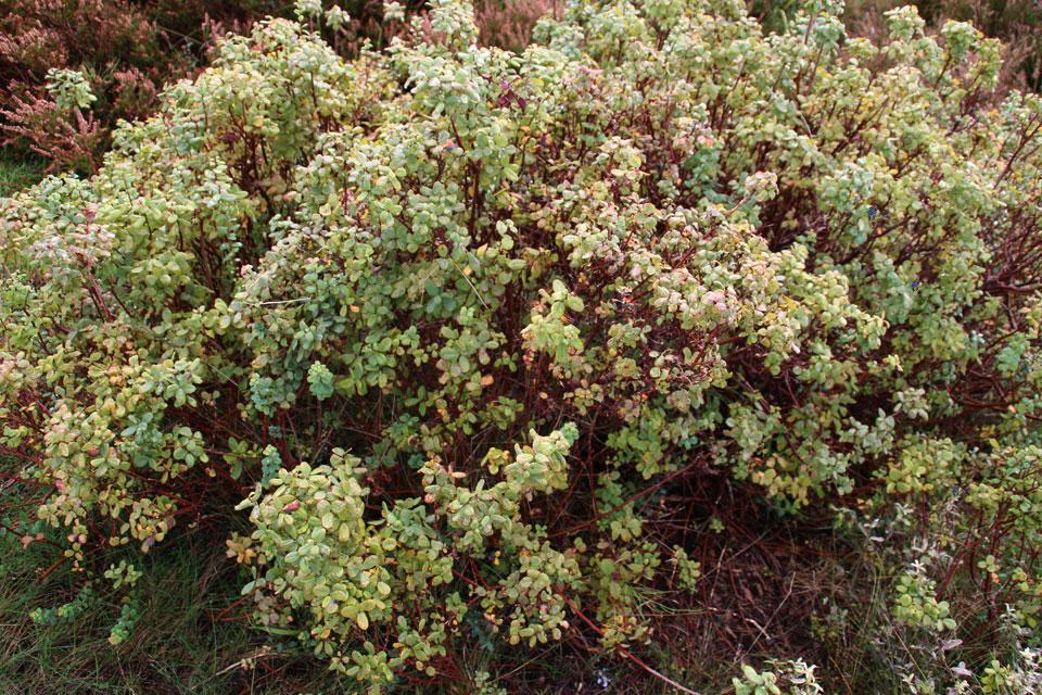 голубика обыкновенная Vaccinium uliginosum