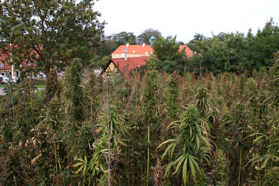 Конопляные поля возле в поместья Мёллеруп.