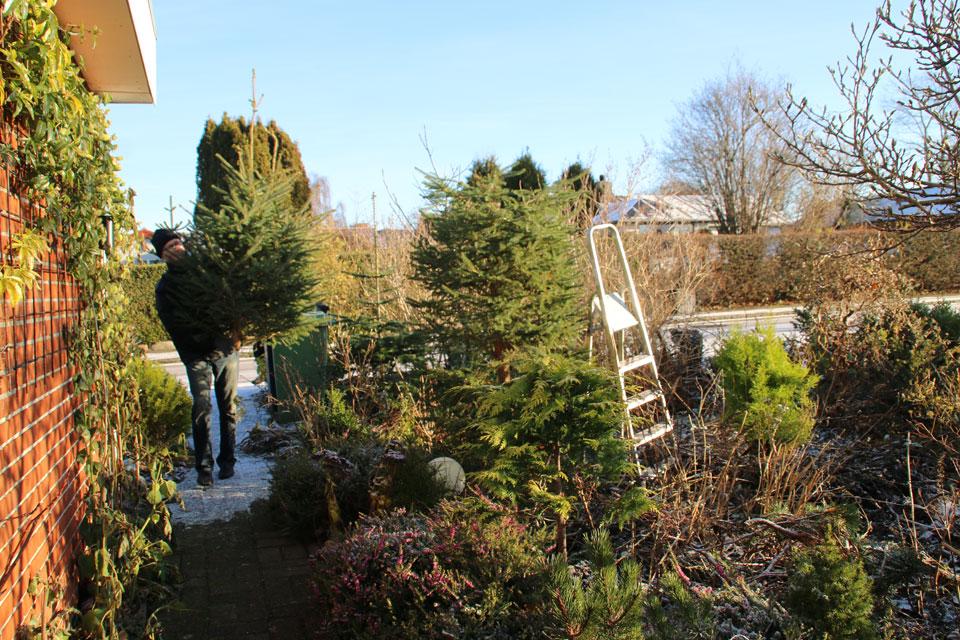 Рождественская елка из сада