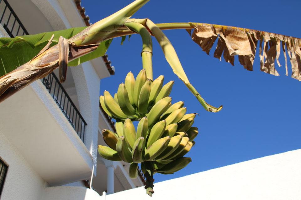 Бананы поспевают