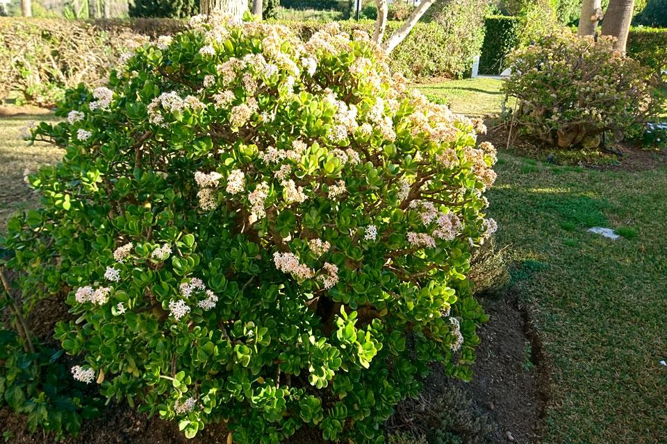 Толстянка или денежное дерево обильно цветет