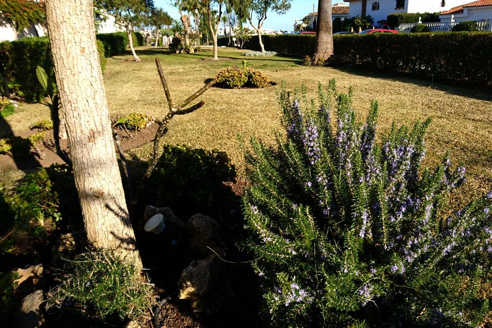 Розмарин - типичный представитель средиземноморской флоры