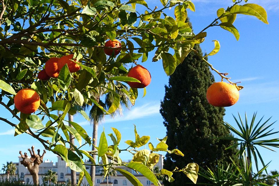 Мандарины поспевают в саду жилищного комплекса