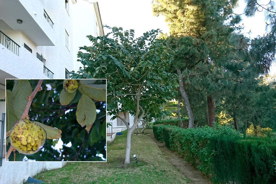 Тропическое дерево черимойя с плодами